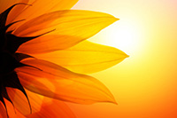 bright orange sunflower